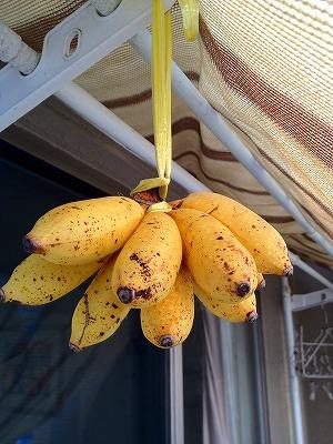 島バナナその後