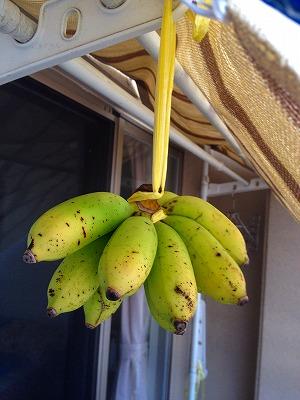 青い島バナナ